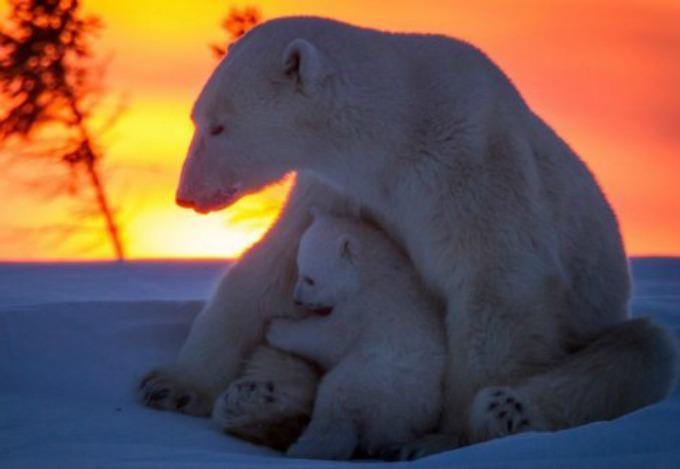 Beli medvedi 7 Neodoljive fotografije polarnih medveda koje će vas raznežiti