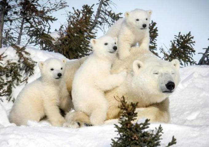 Beli medvedi 8 Neodoljive fotografije polarnih medveda koje će vas raznežiti