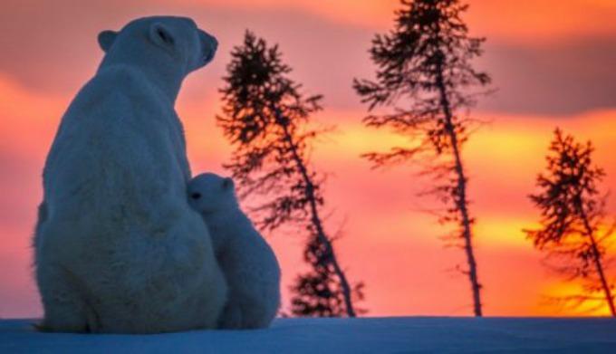 Beli medvedi Neodoljive fotografije polarnih medveda koje će vas raznežiti