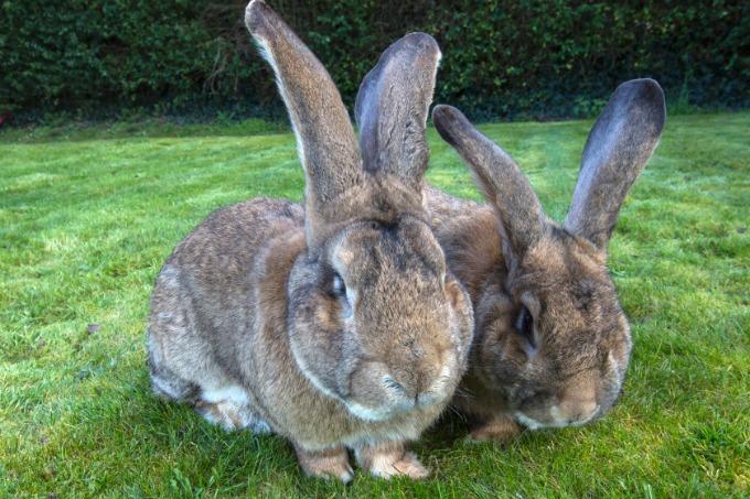 zecevi Upoznajte Džefa najvećeg zeca na svetu