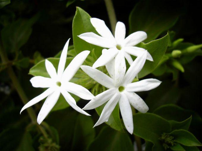 jasmin Kućne biljke za bolji san
