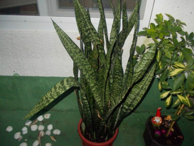 Cvece Sanseverija Biljke koje u domu pročišćavaju vazduh i dobre su za zdravlje