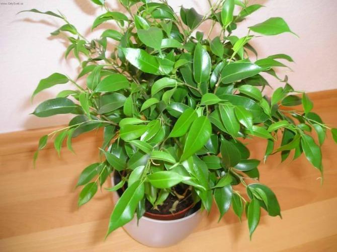 fikus benjamina 3 Biljke koje u domu pročišćavaju vazduh i dobre su za zdravlje
