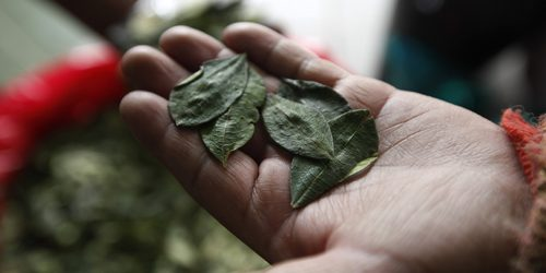 Živi zdravo: Lišće koke je dobro za vas