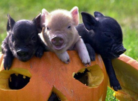 Zašto vam je svinjče neophodno u životu?