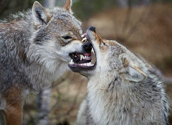 Striptiz za pismene: Moji su drugovi sami sebi vukovi